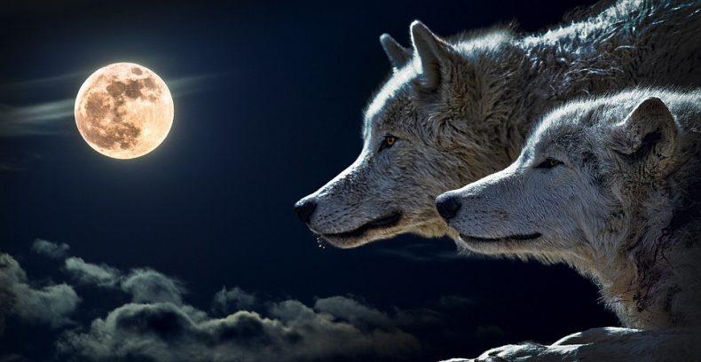 טוטם הזאב – כוחה של הנאמנות