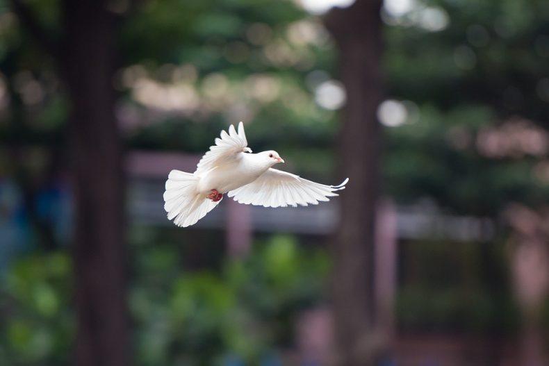טוטם היונה – לא רק יונת שלום
